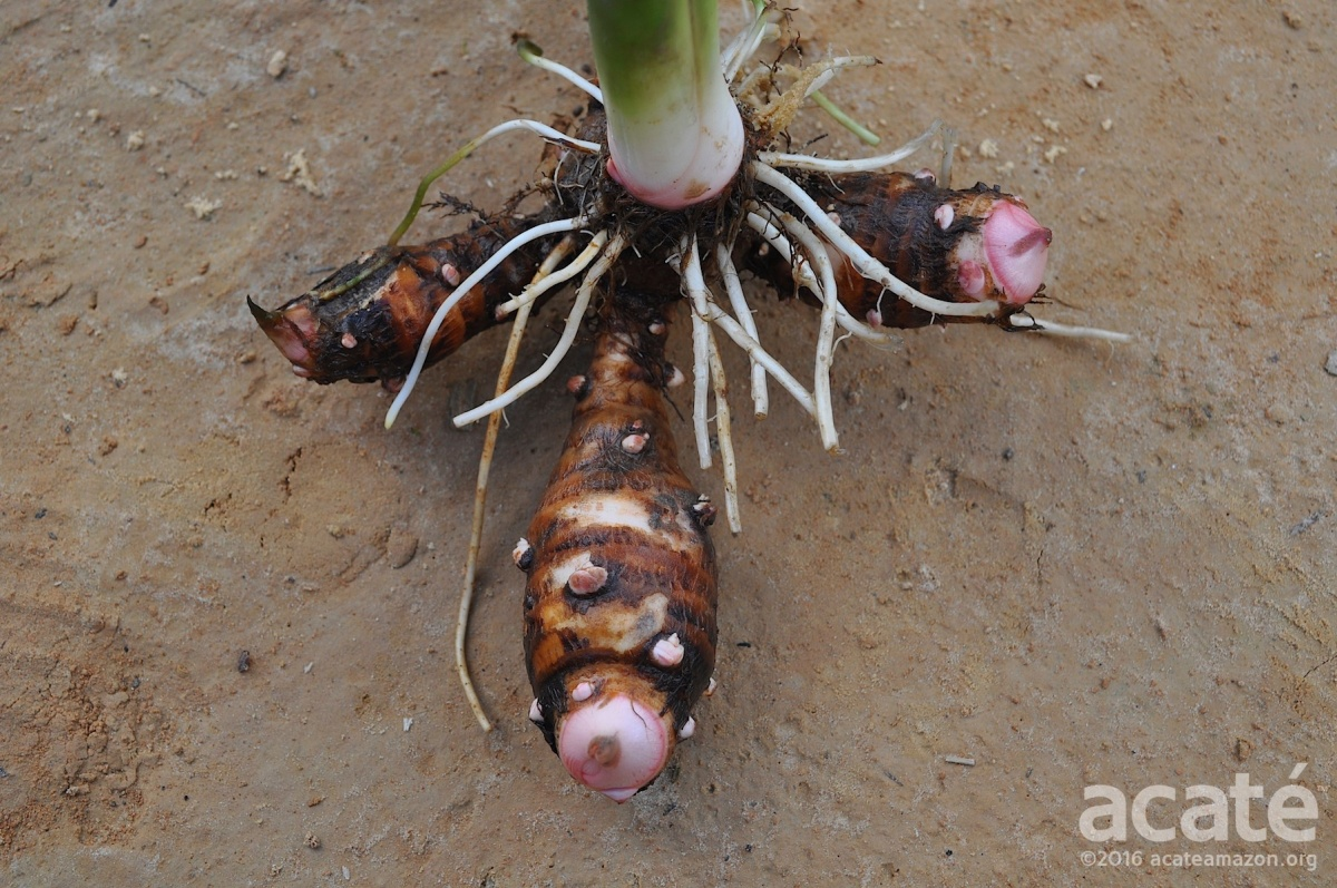 corm and cormels of a young siante tapun plant amazon
