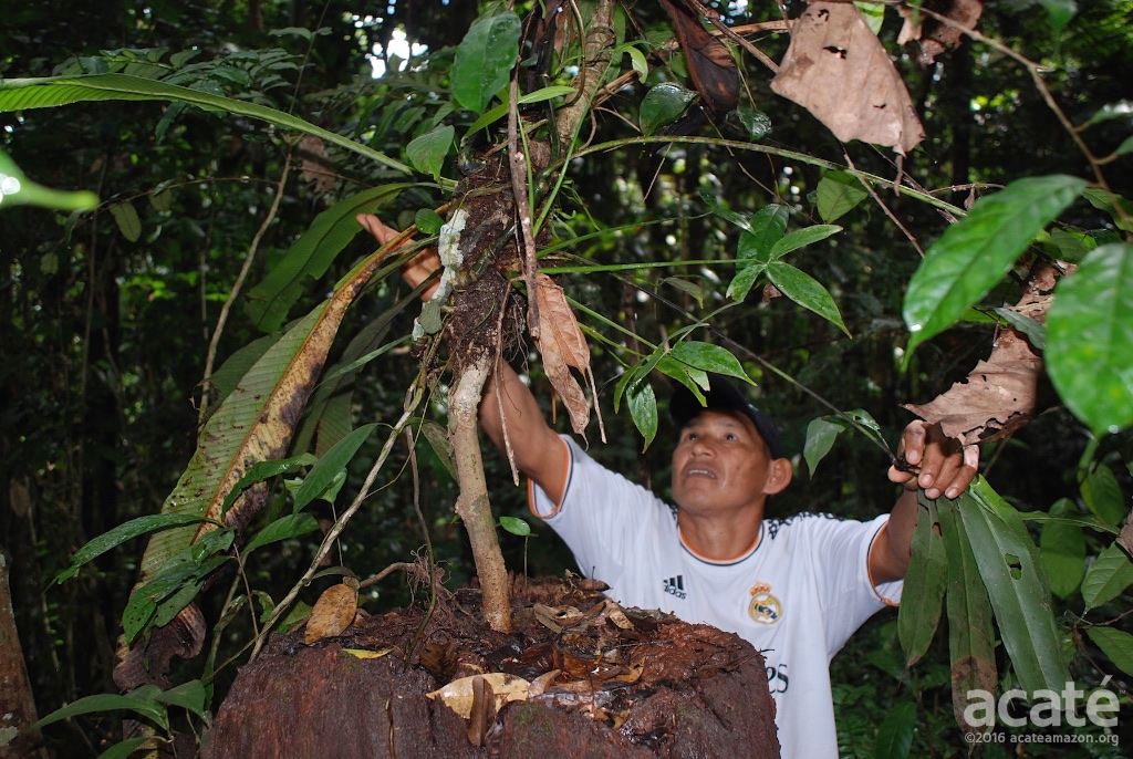 Segundo with medicinal plant (two epiphytes grafted) planted many years ago by his father in law in Buen Peru