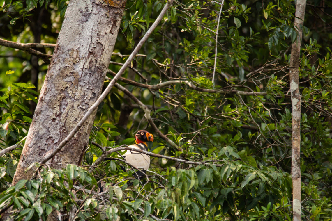 king vulture in primary forest